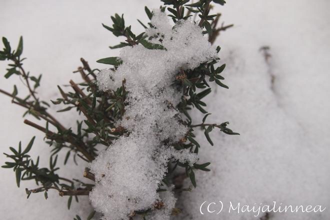 Timjami lumessa