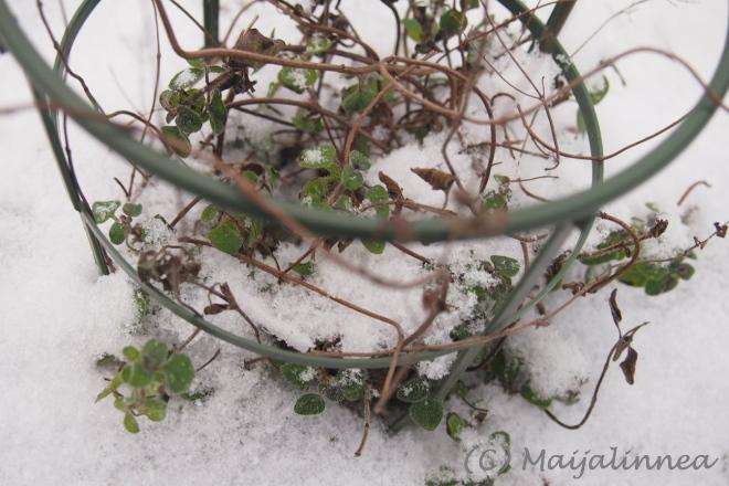 oreganoa tammikuussa