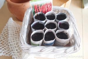 chilipaprikan siemenet itämässä  taimipoteissa