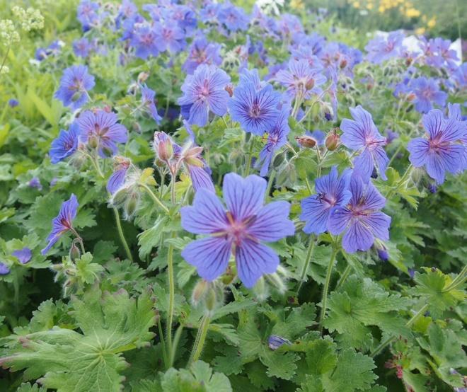 Kaunis sininen kukka, jonka nimeä en tiedä. Täytynee selvittää :)