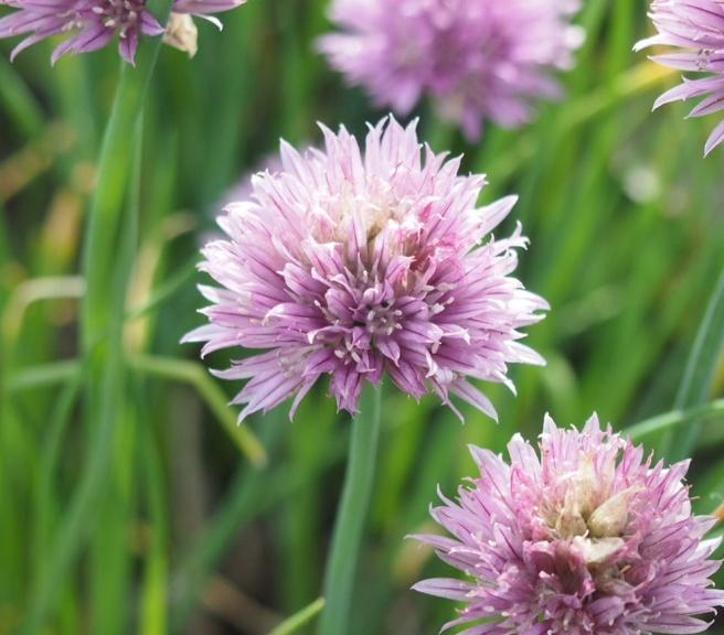 Ruohosipuli kukkii