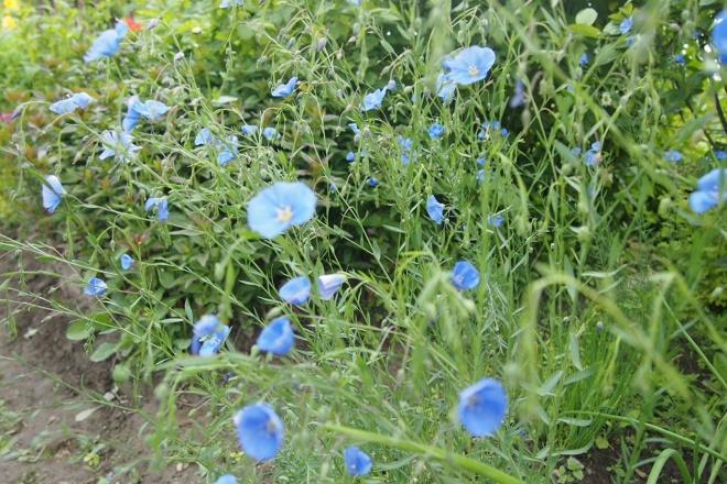 Naapuripalstalla kasvaa sinipellavaa, myös tarhapellavaksi kutsuttu