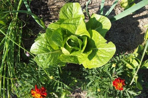 Sidesalaatti eli rooman salaatti