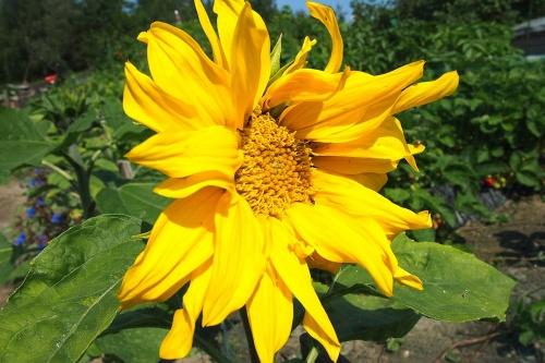 Auringon kukka