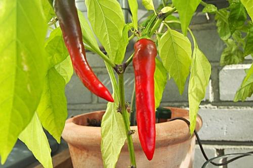 Chilipaprikan kasvatusta