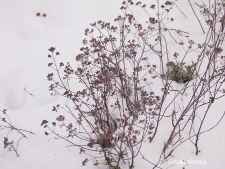 Timjamin varsia talvisessa puutarhassa