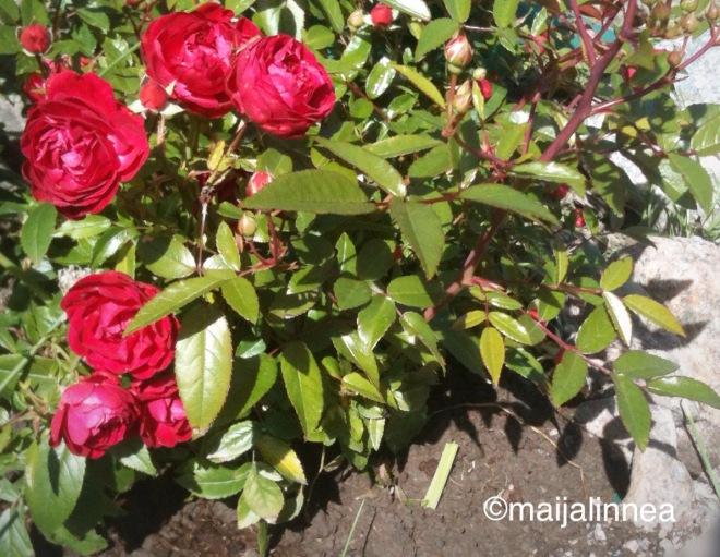 Ruusu kukkii 20.7.2016